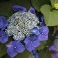 鮮やかな額紫陽花