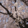 枝垂桜の袂から