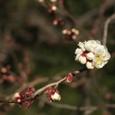 早咲きの八重咲き梅